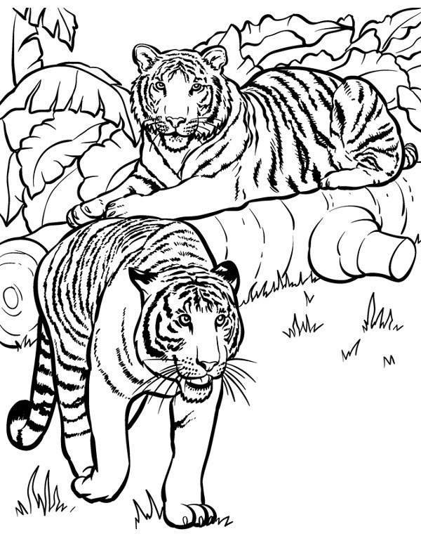 Tygrys Malowanka Kolorowanka Do Wydruku